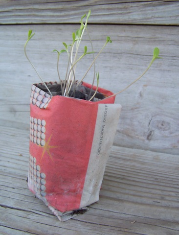 Bachelor buttons grow in newspaper pot