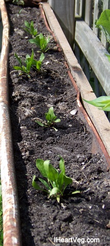 Spinach grown from seed in gutter.